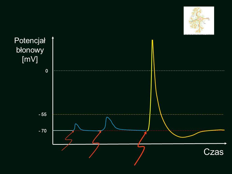 Potencjał błonowy [mV] - 55 - 70 Czas